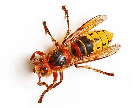 что делать при укусе осы